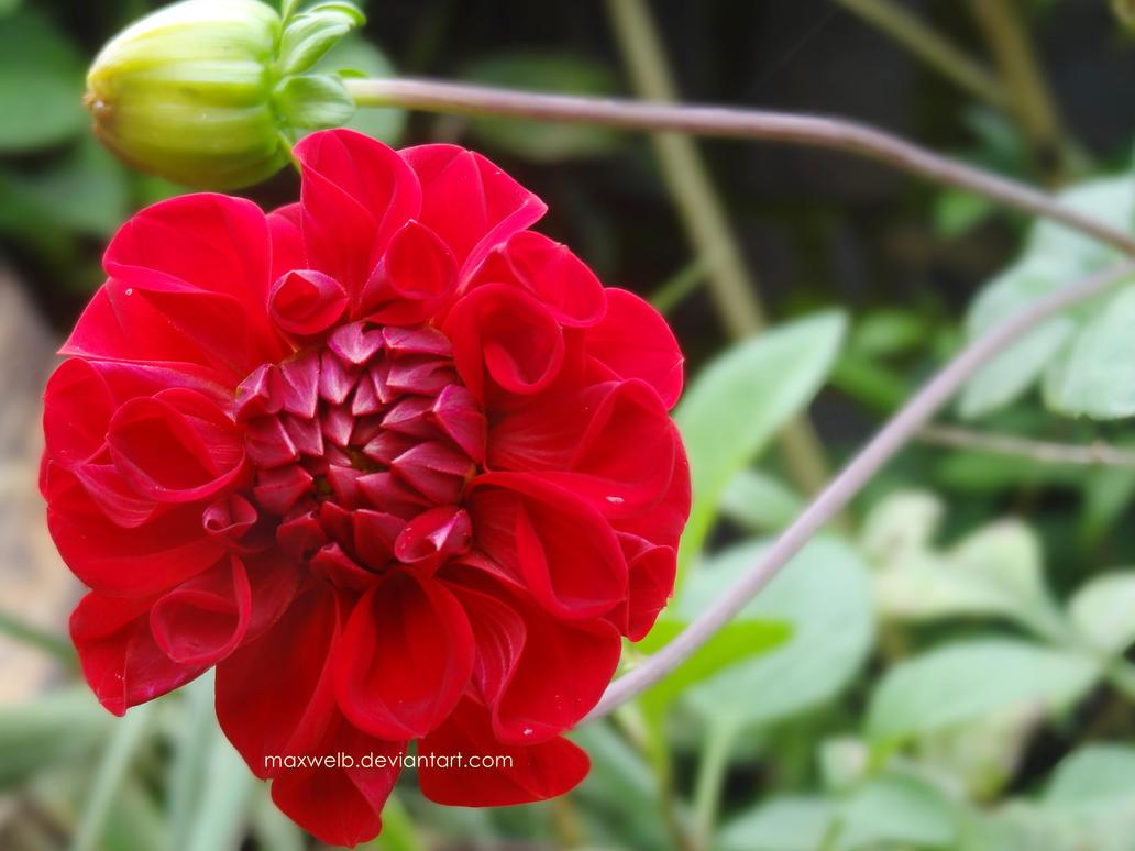 Flower 2 by Maxwelb