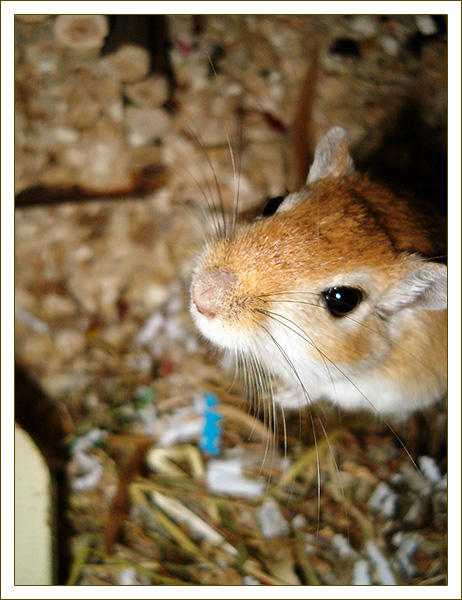 gerbil by hebou