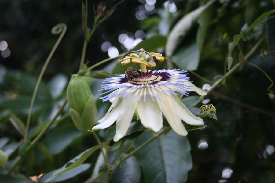 Passion flower and bee by alazada9855