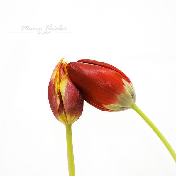 Tulip's Kiss