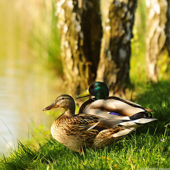 Mr. and Mrs. Duck by MarcoHeisler