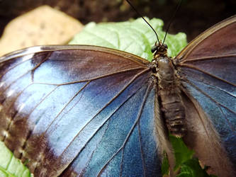 Blue Morpho Butterfly by peaceful-eagle