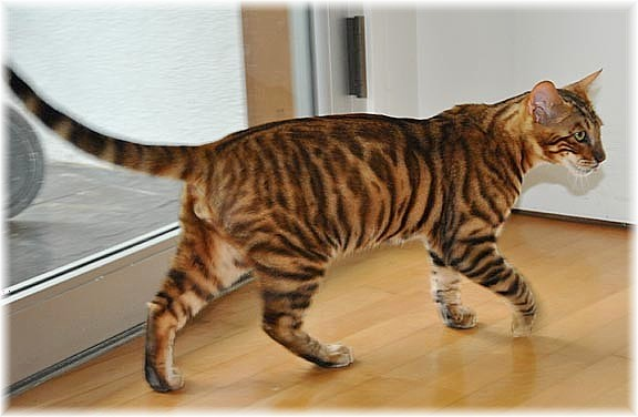 where can i buy a toyger cat