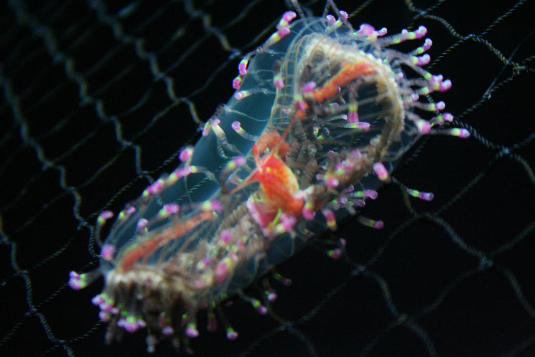 flower hat jellyfish - photo #22