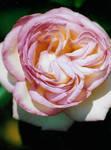 A rose close to