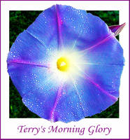Terry's Morning Glory by sunnie