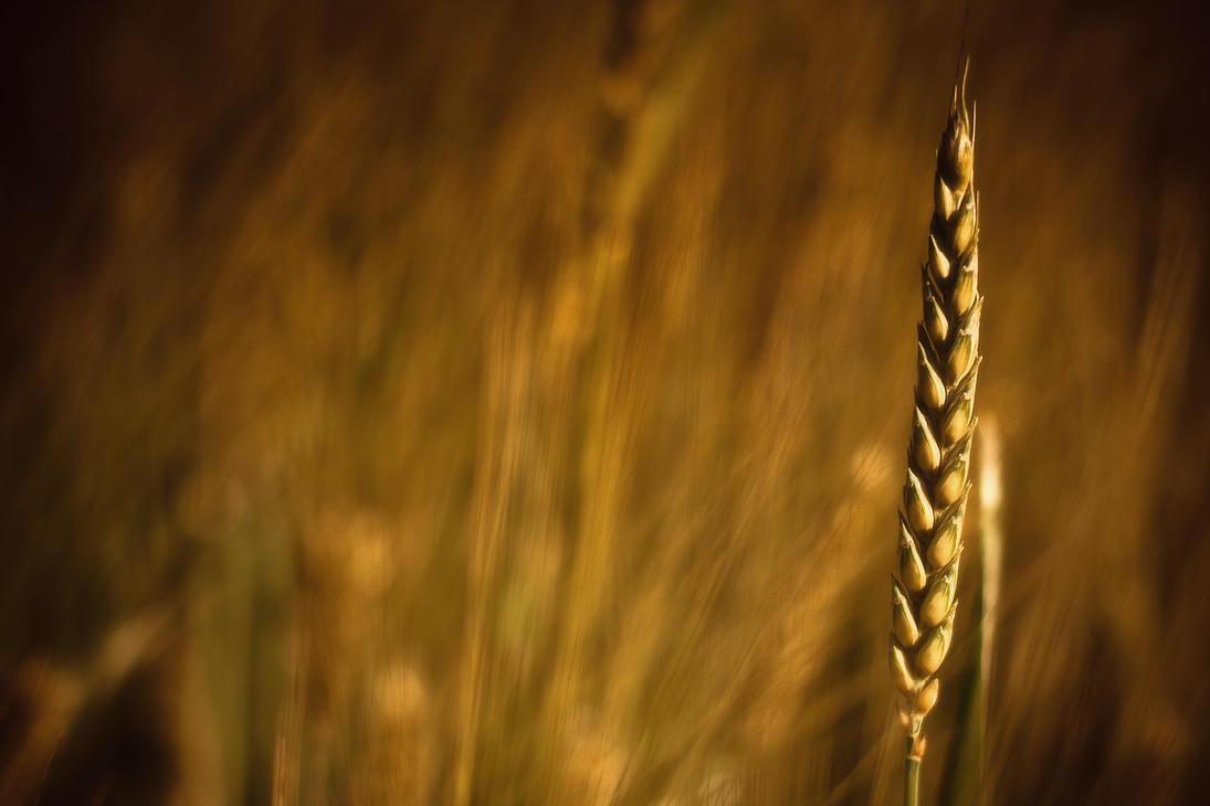 Wheat Grain Wallpaper by geckokid