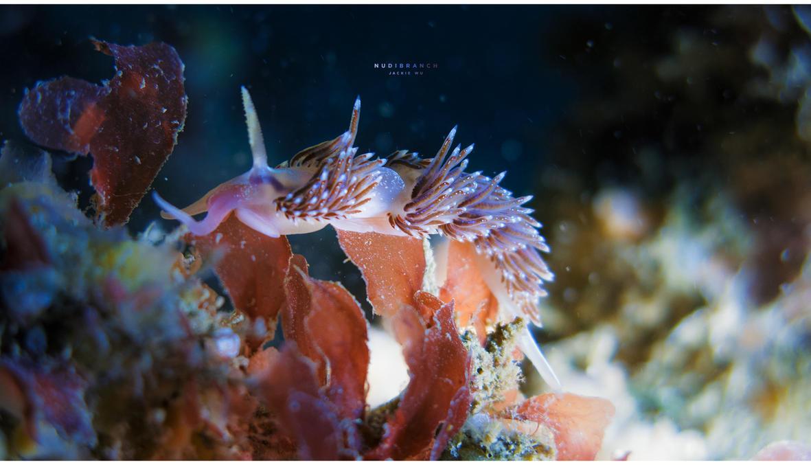 Nudibranch by geckokid