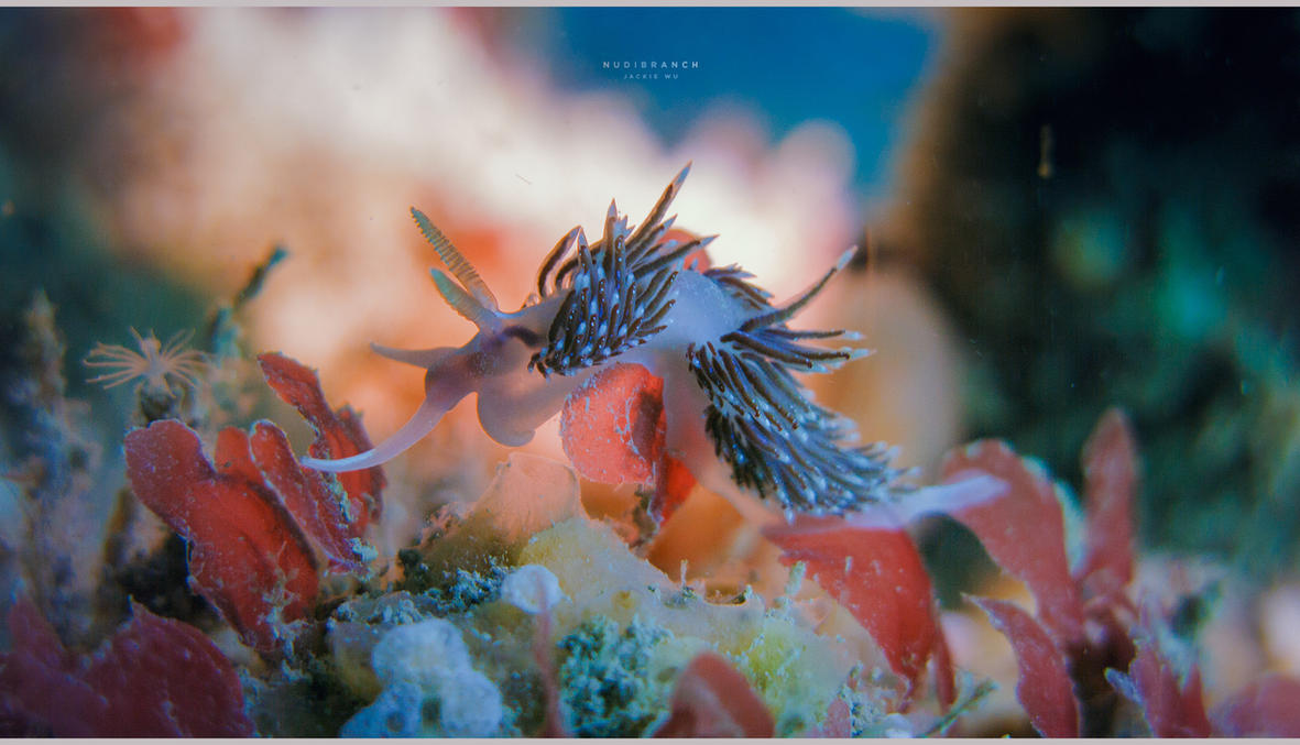 Nudibranch by geckokid