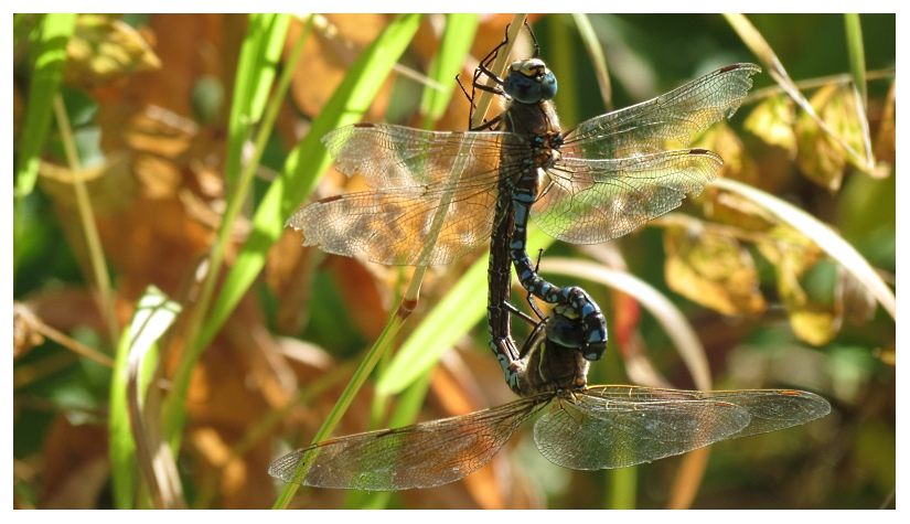 Dragonflys by RueTris