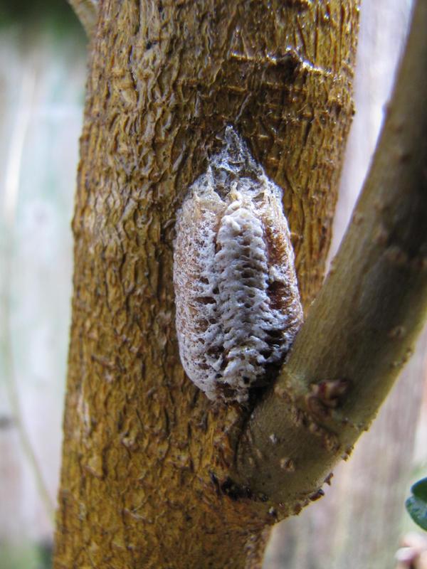 Hatched Praying Mantis Egg Sack By Katyscornertx On Deviantart