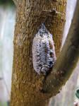 Hatched Praying Mantis Egg Sack