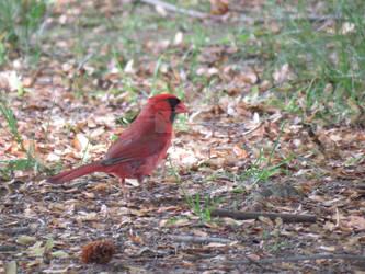 Cardinalis cardinalis
