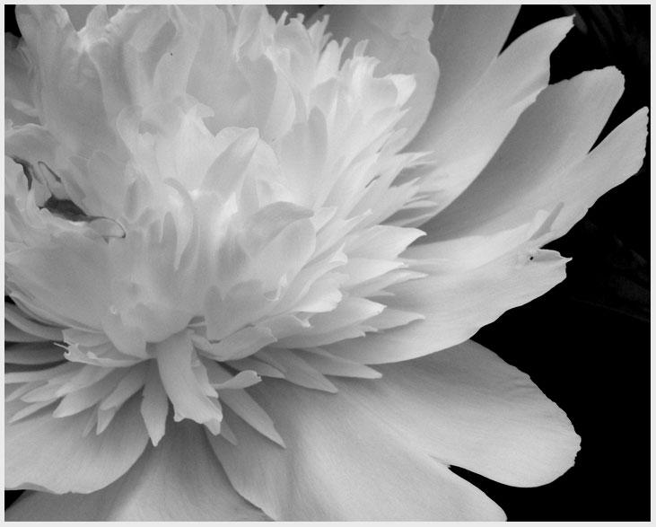 black and white flower study10 by nay9 - Black And White Flowers