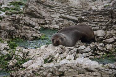 Seal on the Rocks by Kapa-V