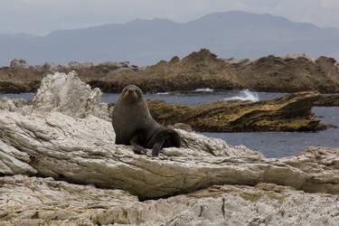 Seal on the Rocks 2 by Kapa-V
