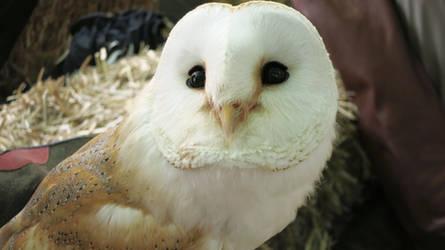 Barn Owl by Forumsdackel