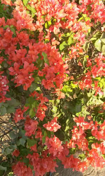 Juse some red roses on a bush