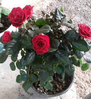 Just some red roses