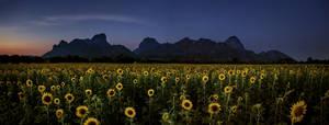 Sunflower at Dusk