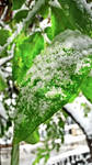 Frosted Green Leaf - / not a trueHDR shot /