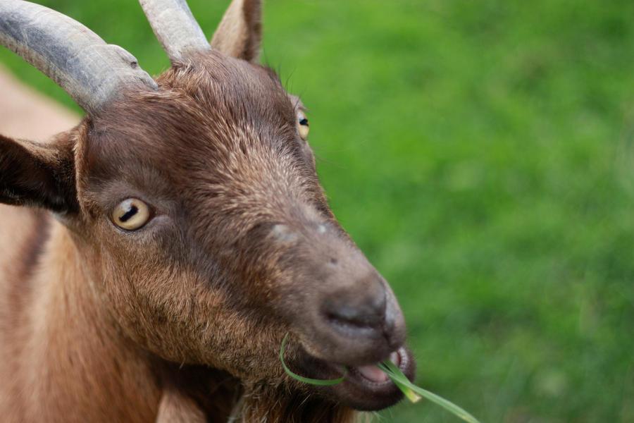 goat_eyes_by_nouveller-d4btjrt.jpg