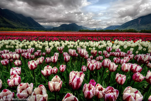 Tulip Sea by IvanAndreevich