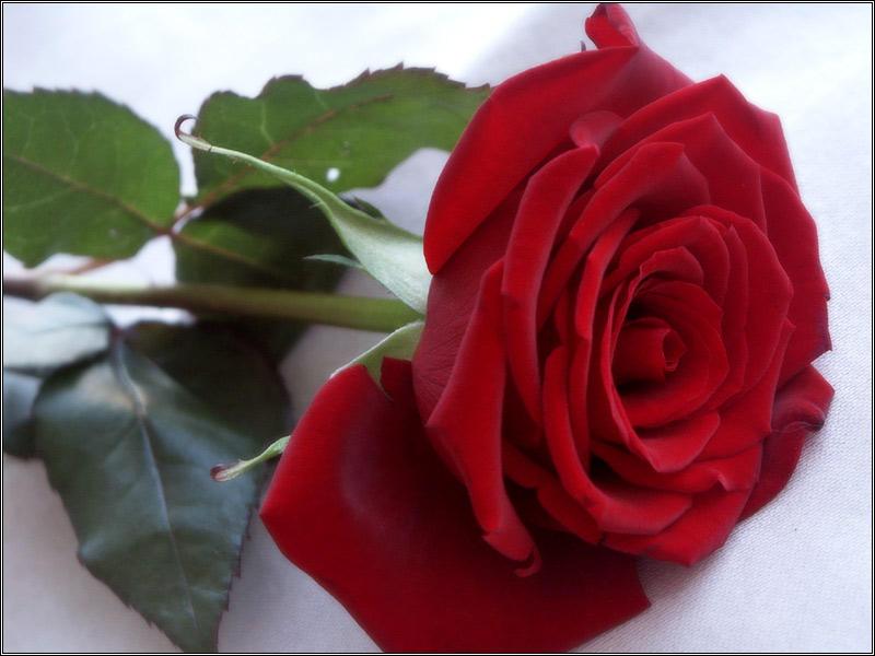 Rose Poetry Three by jezebel