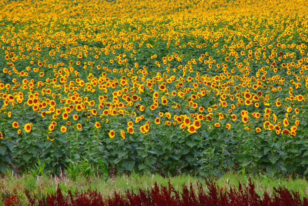 Sunflower fields North Dakota by Paganheart22