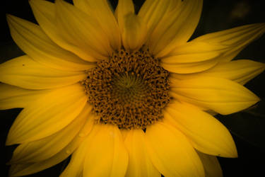 Sunflower by Paganheart22