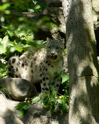 Snow Leopard by Camera02
