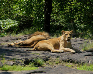 Lions by Camera02
