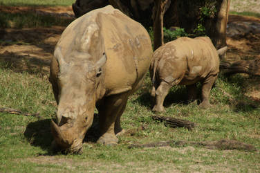Baby Rhino and Mommy