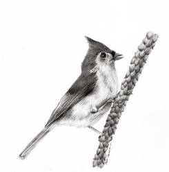 Tufted Titmouse by Camera02