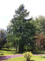 Great pine by major-azrael99