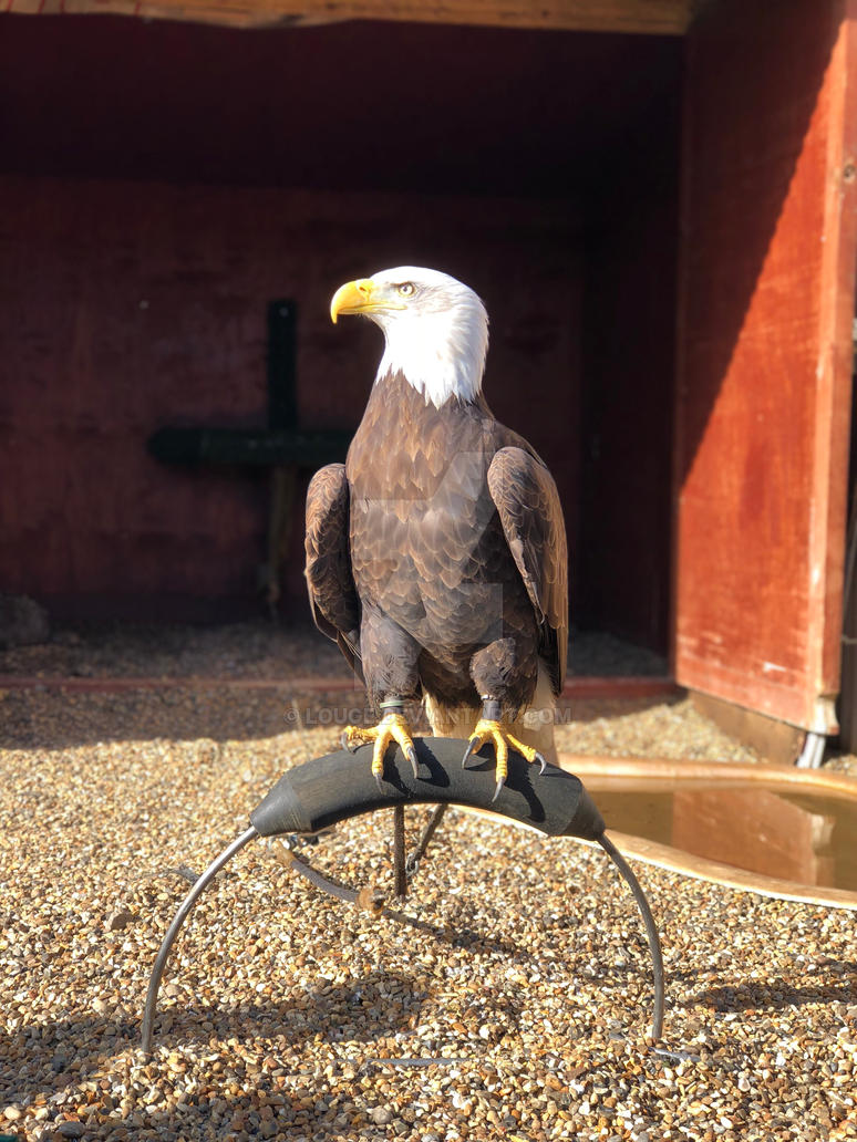 bald eagle by louge