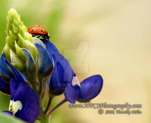 Ladybug 1 - Crop 1