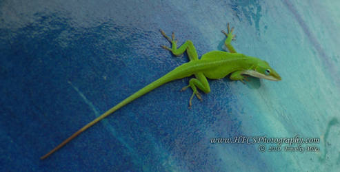 Green Anole - Sea World