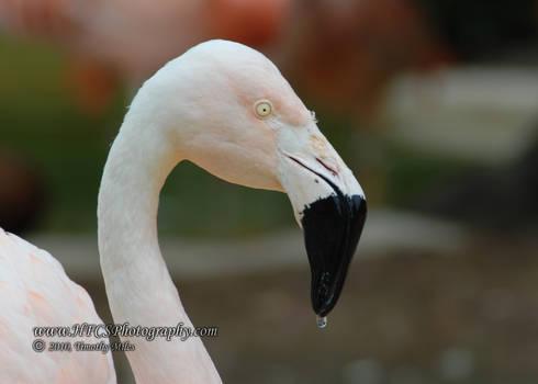 Flamingo-Sea World San Antonio