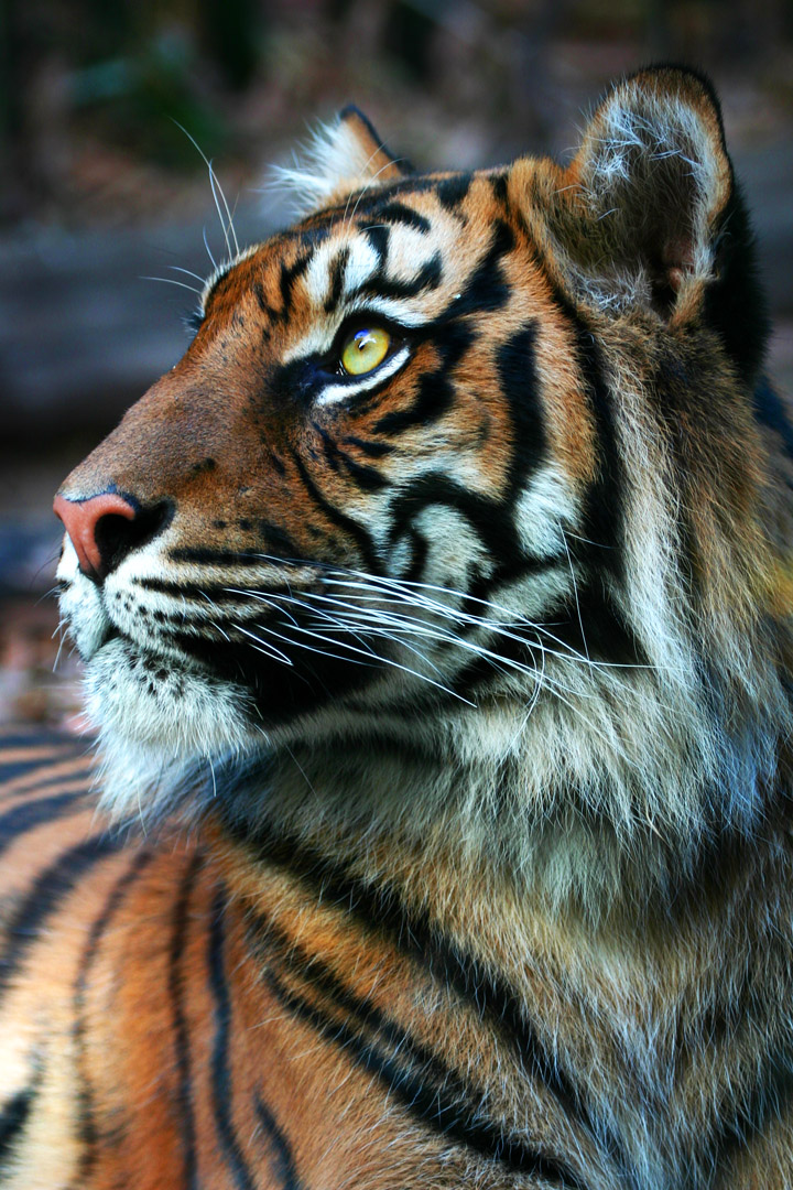 Tiger side by scoot75 on DeviantArt - photo#28