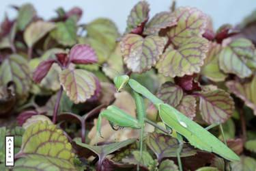 Mantis 1 by arekusan