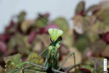 Mantis 2 by arekusan