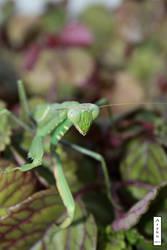 Mantis 3 by arekusan