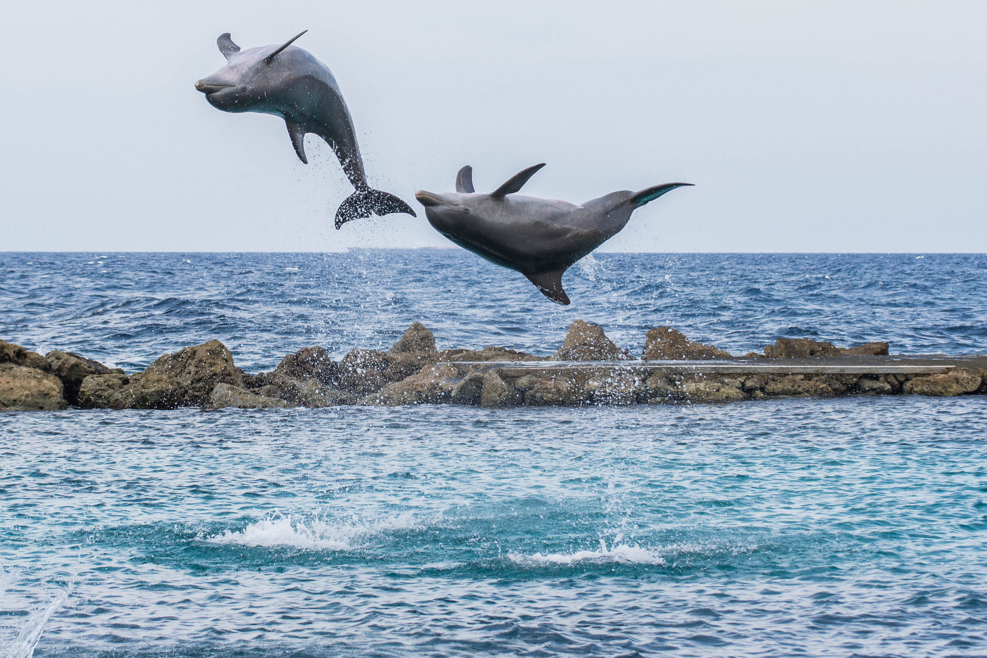 Dolphins jumping out of the water making a heart