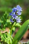 Primavara - Scilla bifolia by Vizfx