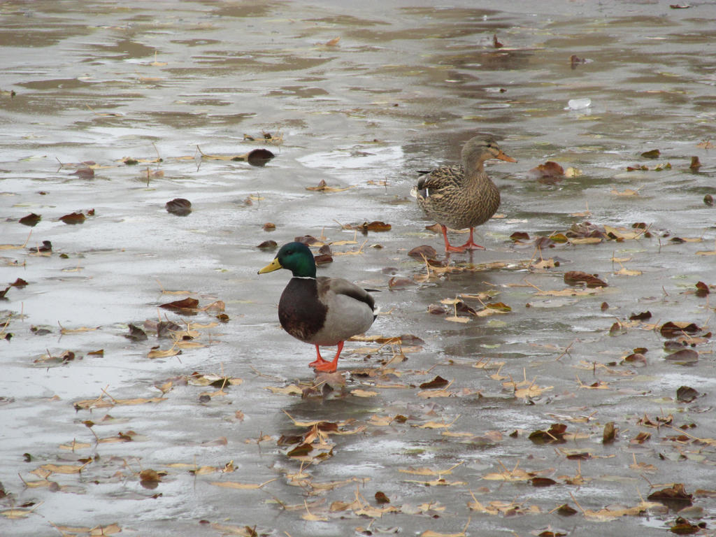 Little Ducks by PunkyDoodle96