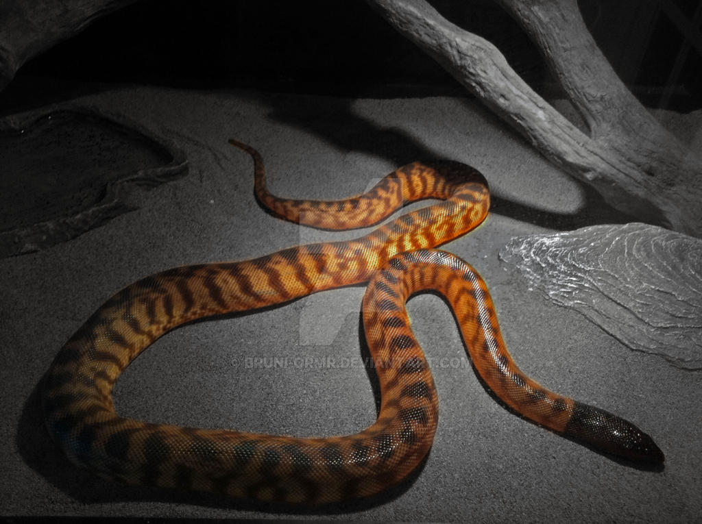 Advice for black headed python pictures uterus