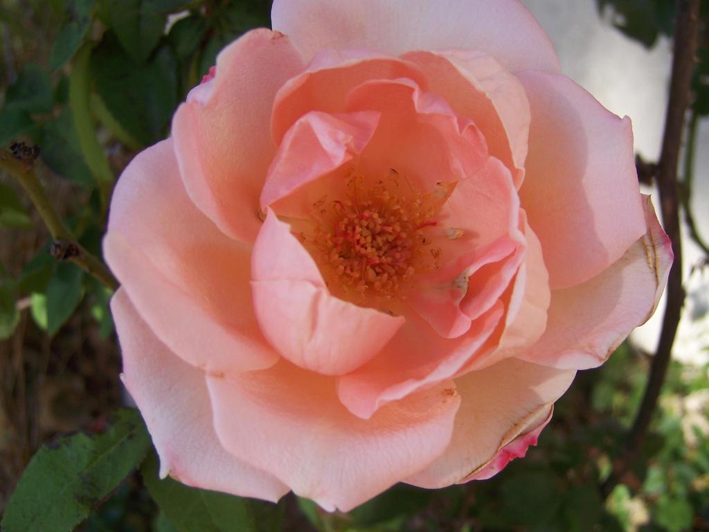 Rose (pink) by SanasApplepony