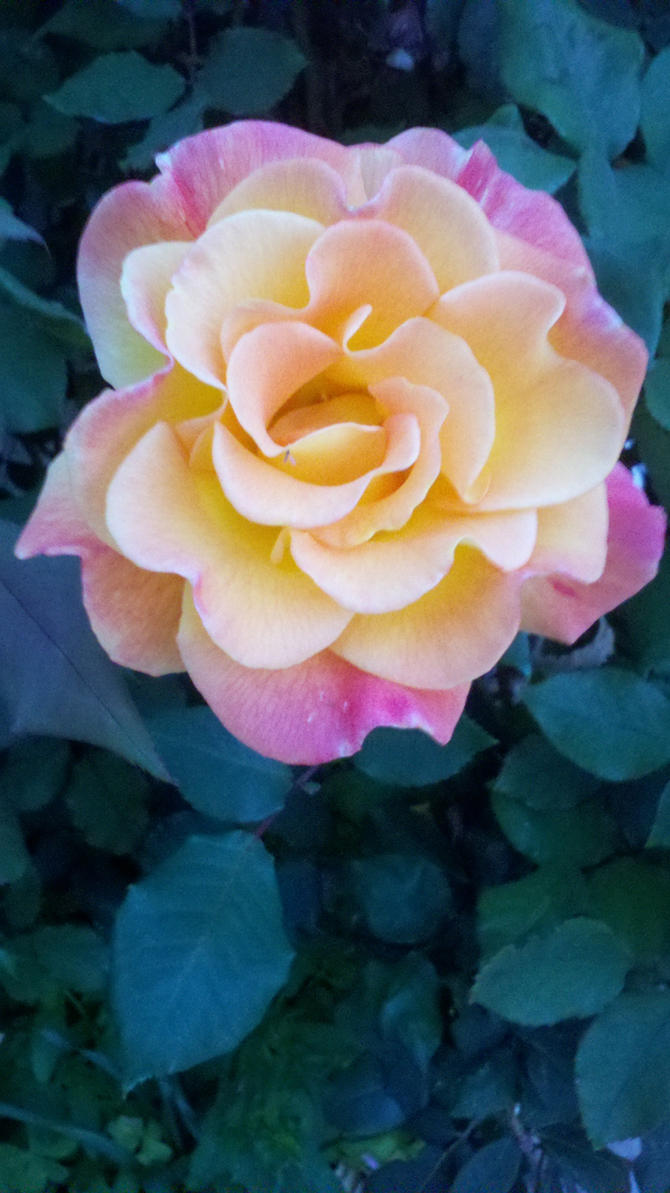 Beauty Rose by SanasApplepony