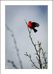 Vermillion Flycatcher by FideNullo